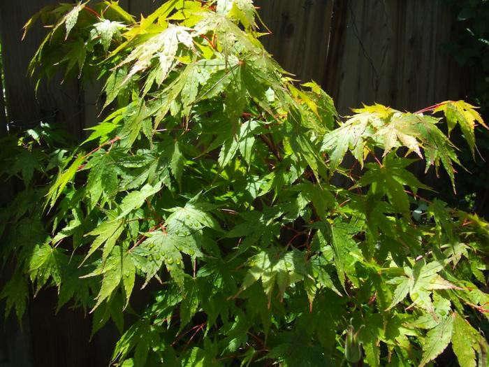 700_acer-palmatum-gardenista