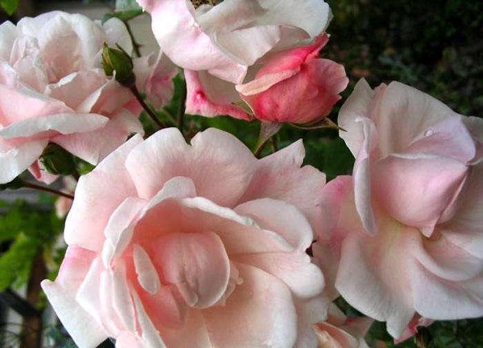 new-dawn-roses-gardenista