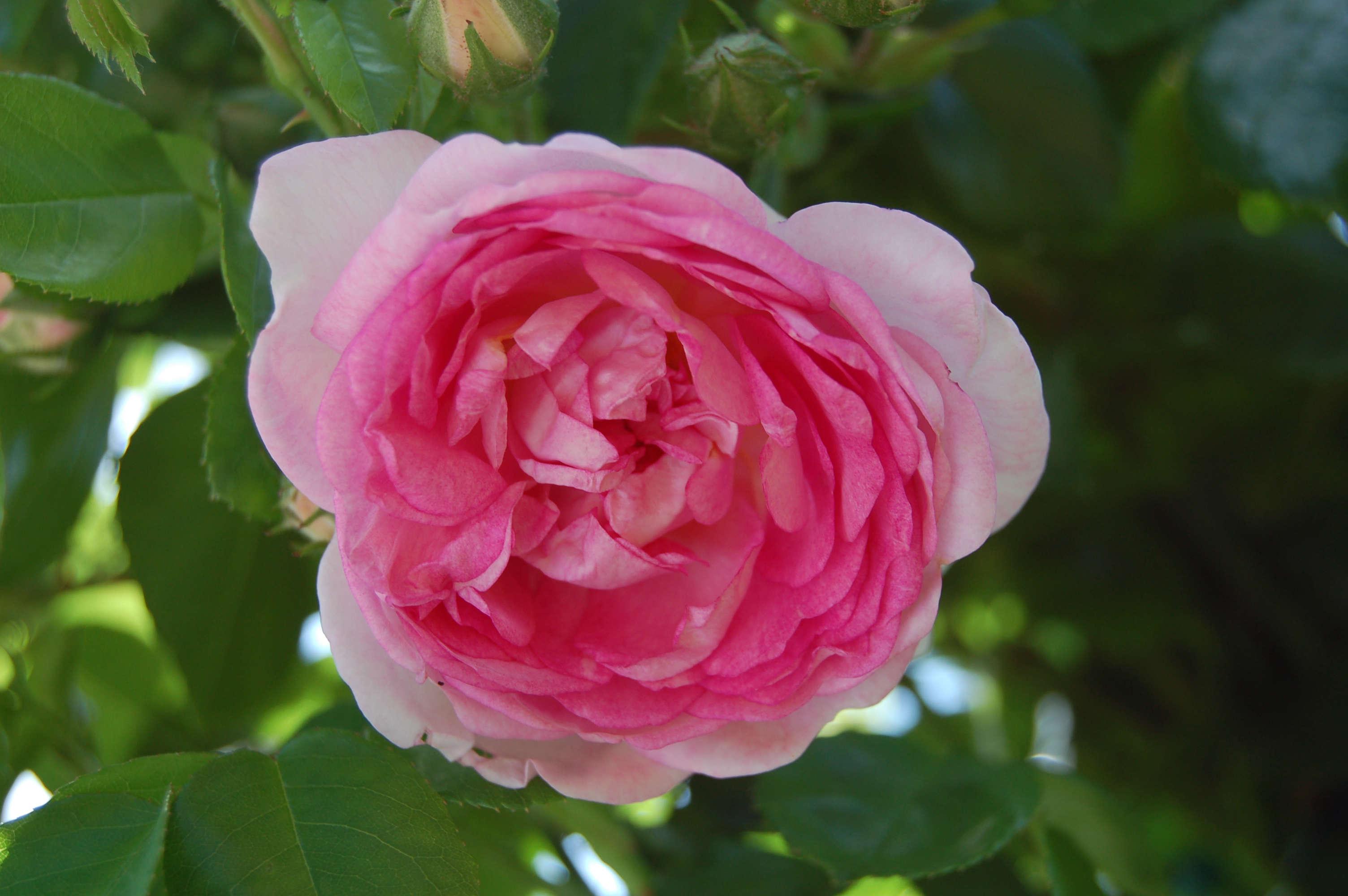 5 favorites a rose for all regions northeast us edition. Black Bedroom Furniture Sets. Home Design Ideas