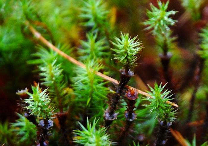 700_polytrichum-haircap-moss-lcose-up