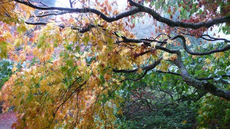 Japanese maple and handkerchief tree at Batsford Arboretum, Gloucestershire