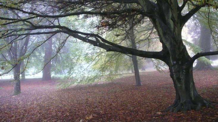 Fernleaf beech at Batsford Aboretum, Gloucestershire