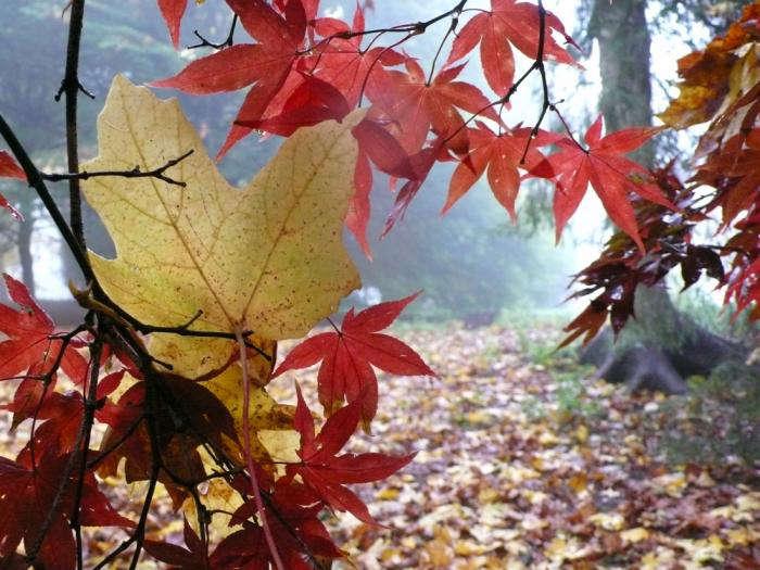 batsford-maple-trees-leaves