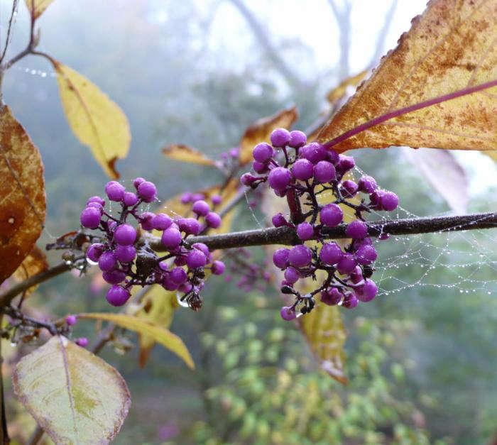 purple-beautyberry-berries