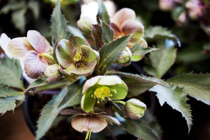 flowerland nursery hellebores-