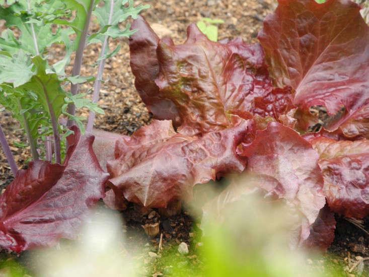 red-lettuce-jeanne-rostaing-gardenista