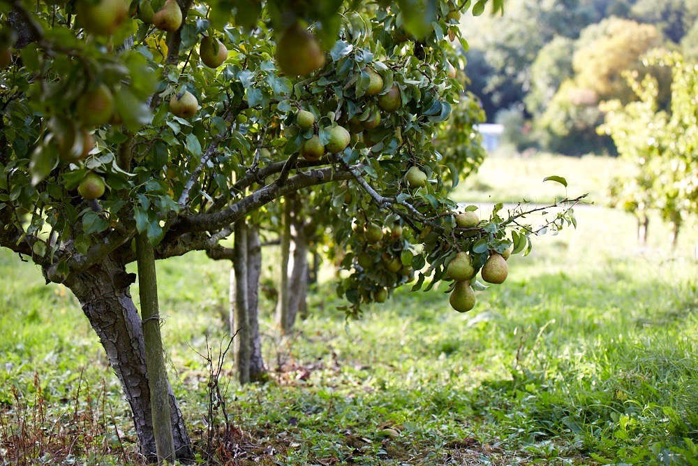 Gardening 101: Pear Trees - Gardenista