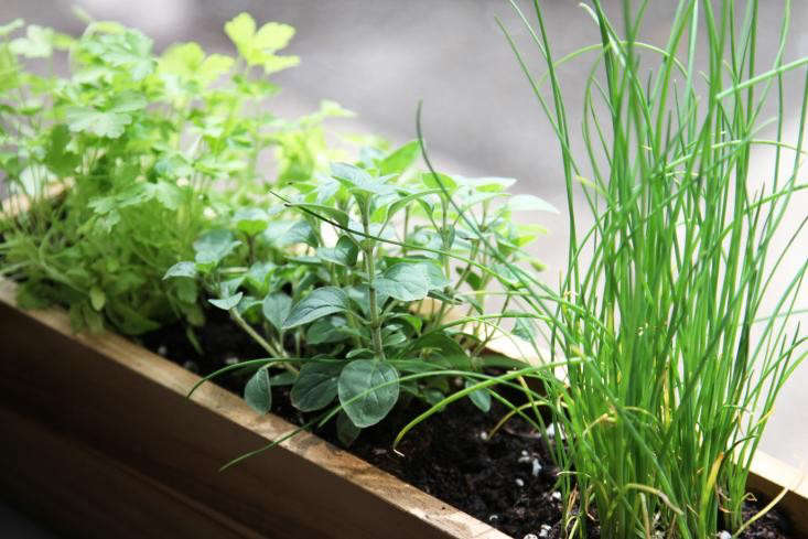 herbs-windowsill-window-box-chives-parsley
