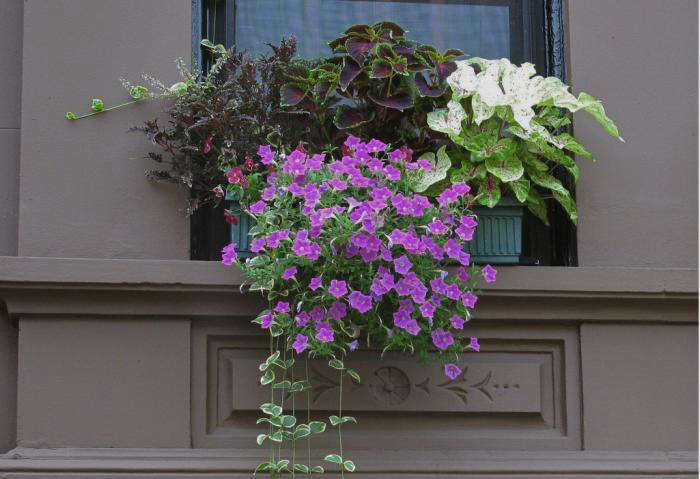 window-box-brooklyn-brownstone-coleus