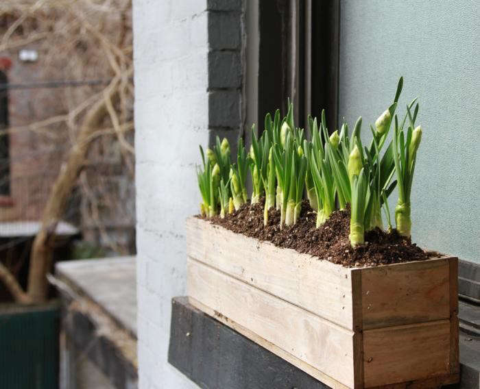 window-box-with-daffodils-1