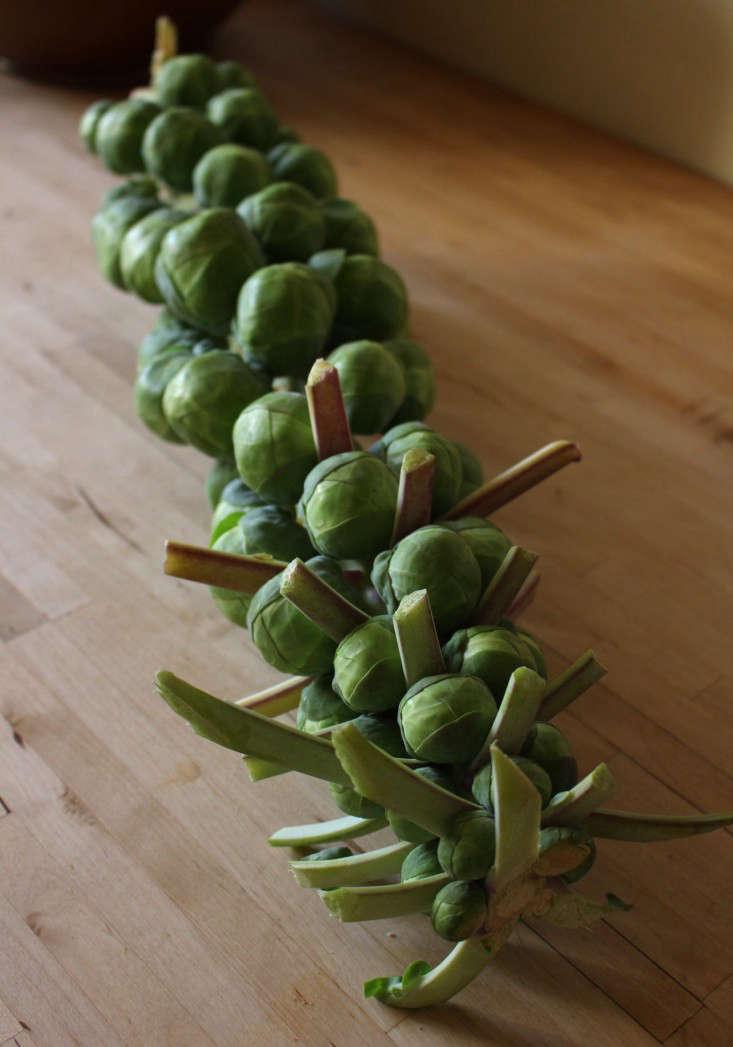 brussels-sprouts-stalk-kendra-wilson-gardenista-2