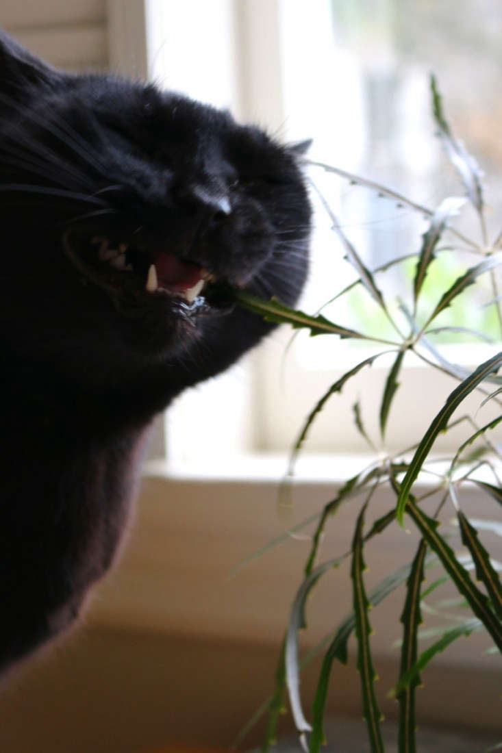 Black Cat Eating Plant, Gardenista