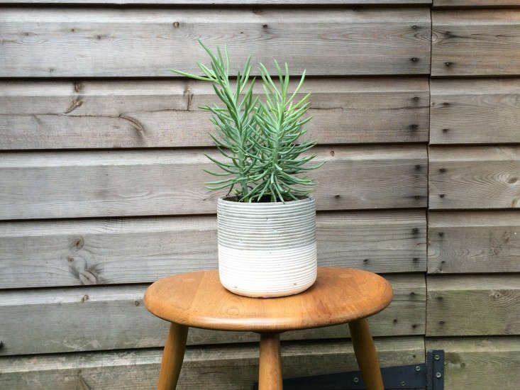 Hostess-Gift-House-Plant-Senecio-Mandraliscae-Remodelista