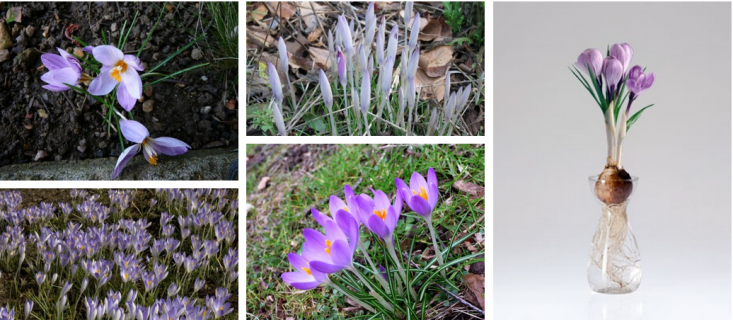 crocuses-field-guide-gardenista