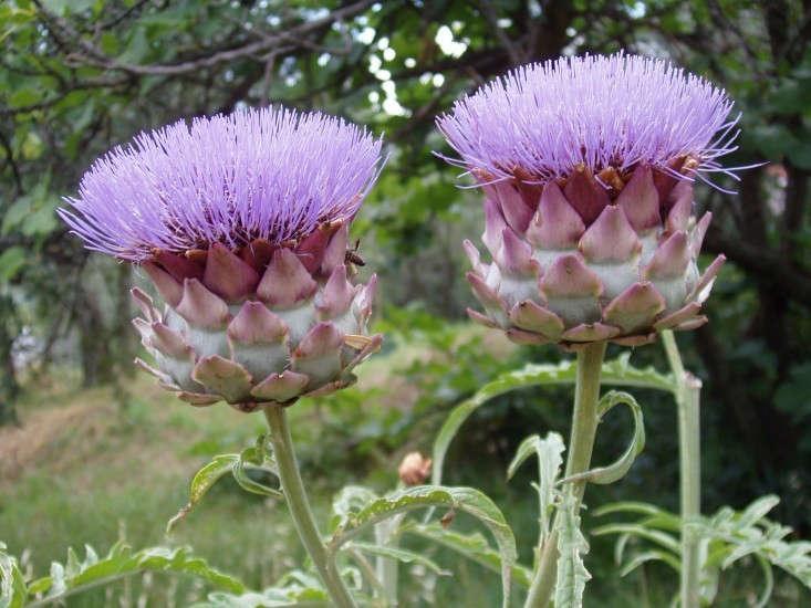 globe-artichoke-flower-by-Stan-Dalone-Gardenista