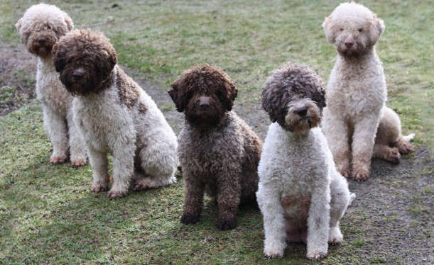 lagotto-romagno-dogs-from-club-of-canada-remodelista