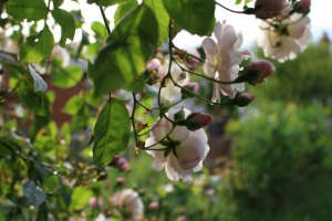 Nice-Scented Rose | Gardenista