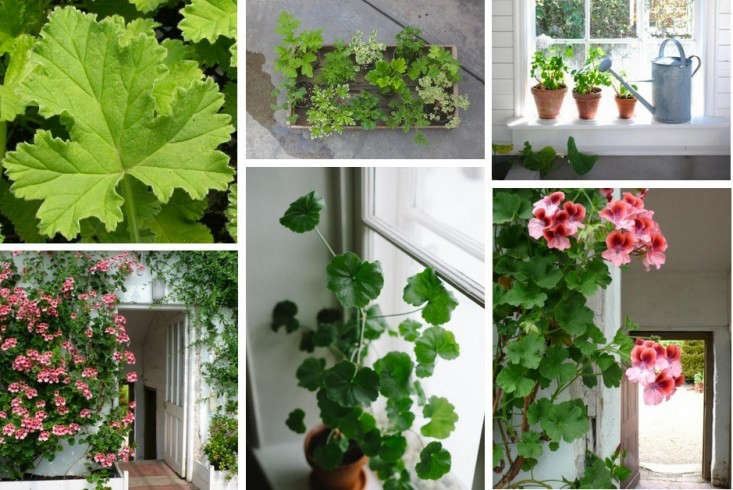 pelargoniums-gardenista-field-guide