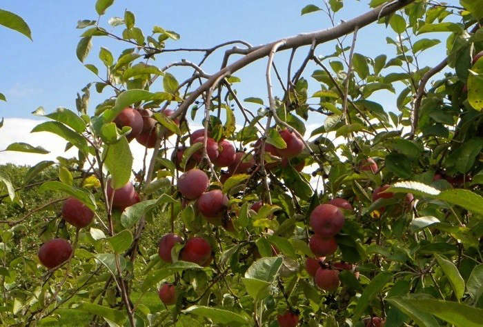 Apples-Cedar-Heights-Orchards