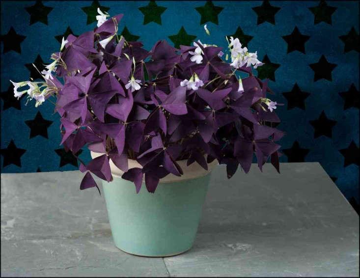 Purple%20Shamrock%20Plant%20Best%20Houseplants%2C%20Gardenista