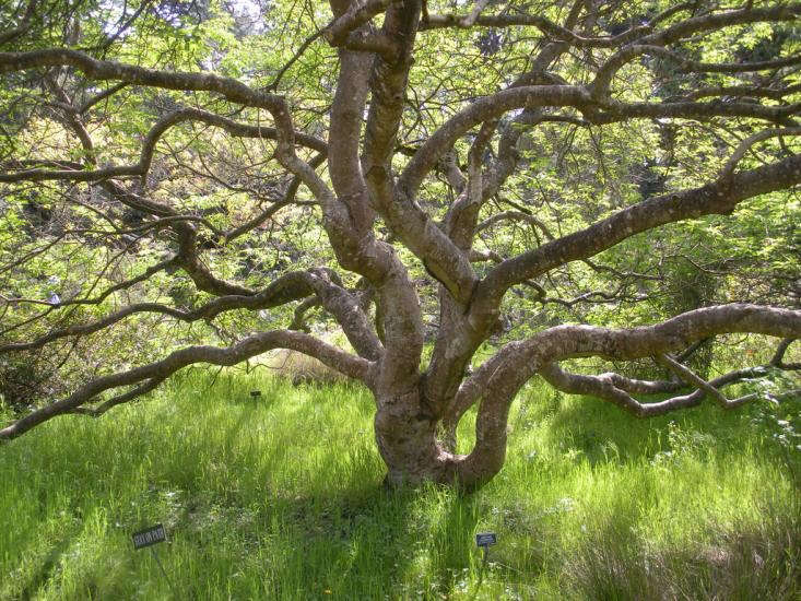 california%20native%20buckeye%20tree%20sf%20botanical%20garden