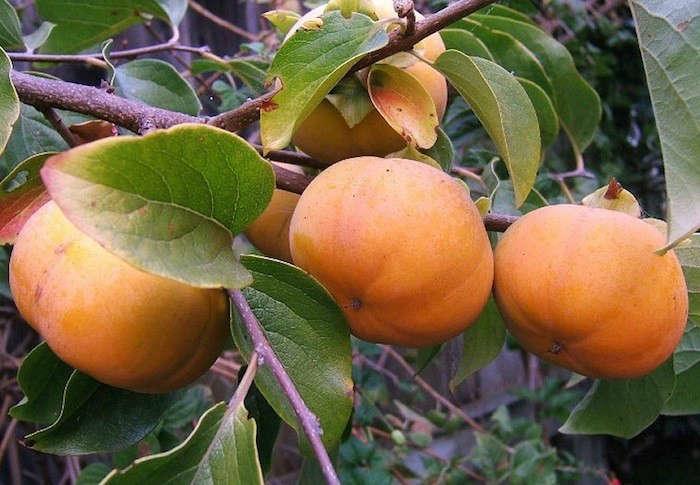 fuyu-persimmons-tree