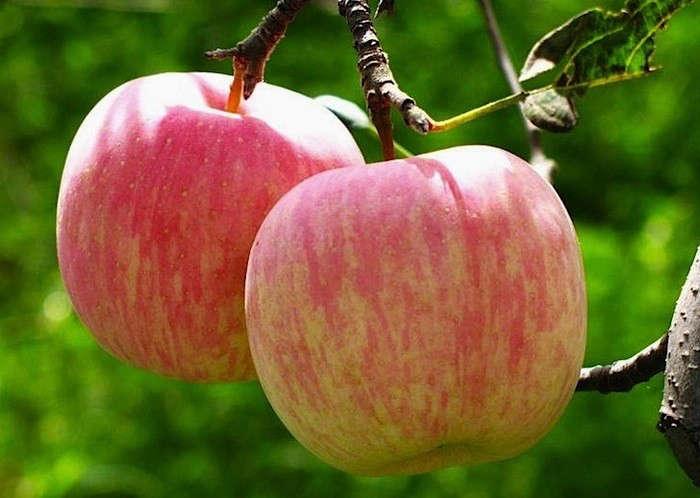 washington-state-fuji-apples