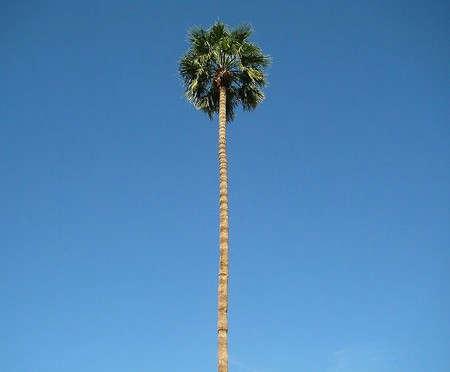 palm-springs-palm-tree
