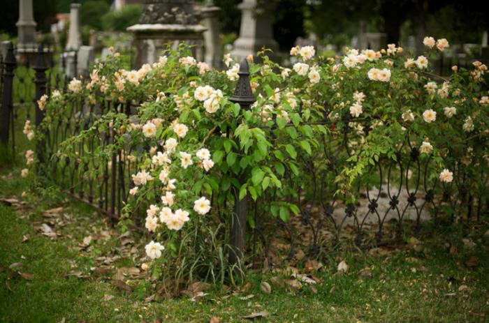 700_eudora-welty-garden-roses-on-the-cemetery-fence-jpeg