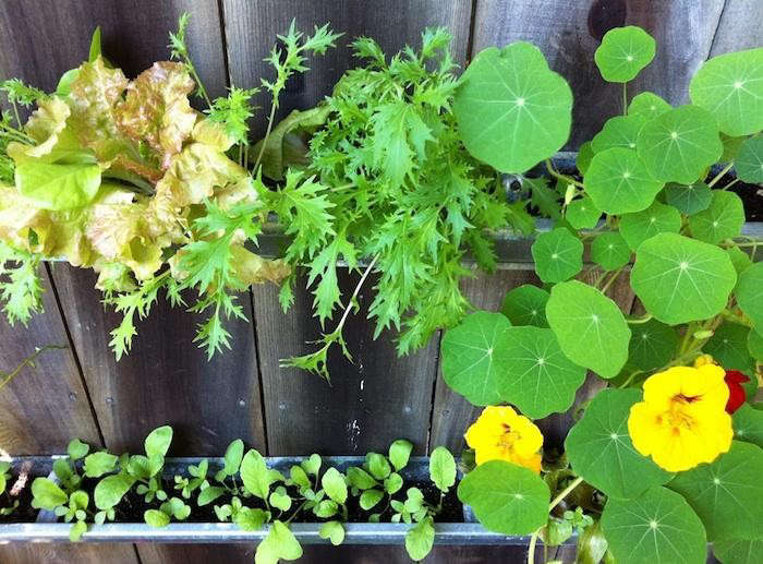 700_gutter-garden-nasturtiums