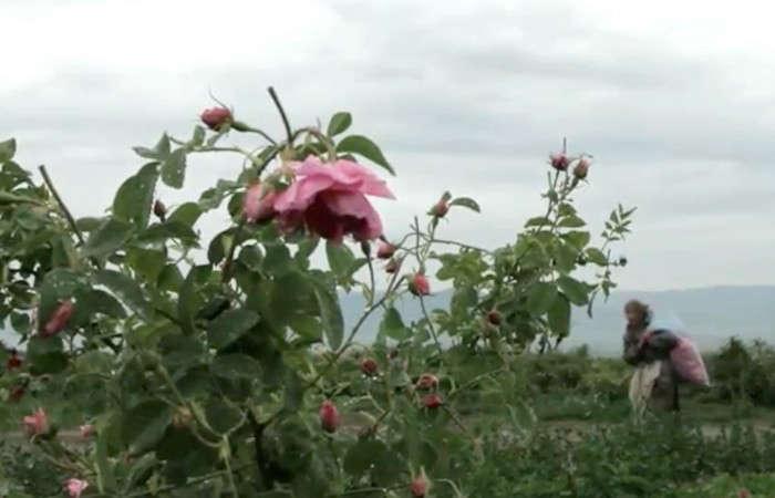 700_rose-damascena-production