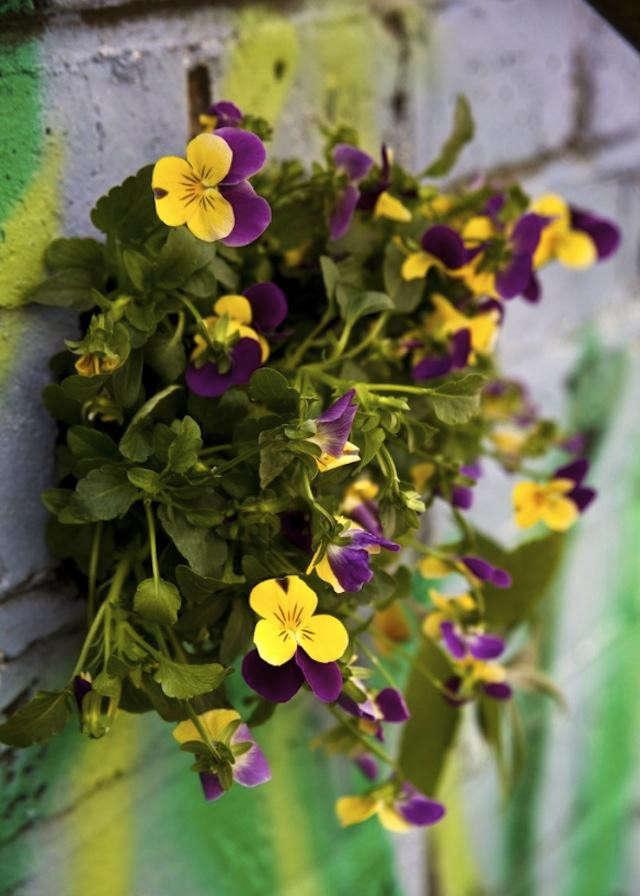 640_wall-garden-pansies-thepotholegardener