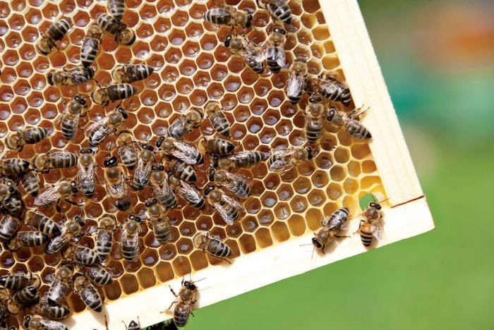 700_bees-honeycomb