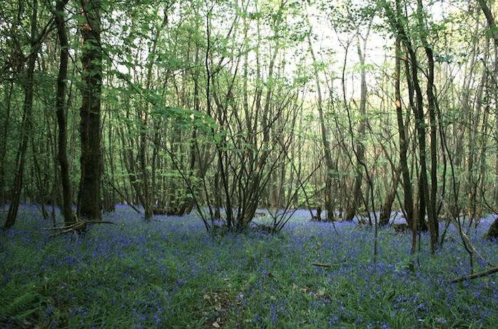 700_bluebells-in-the-forest