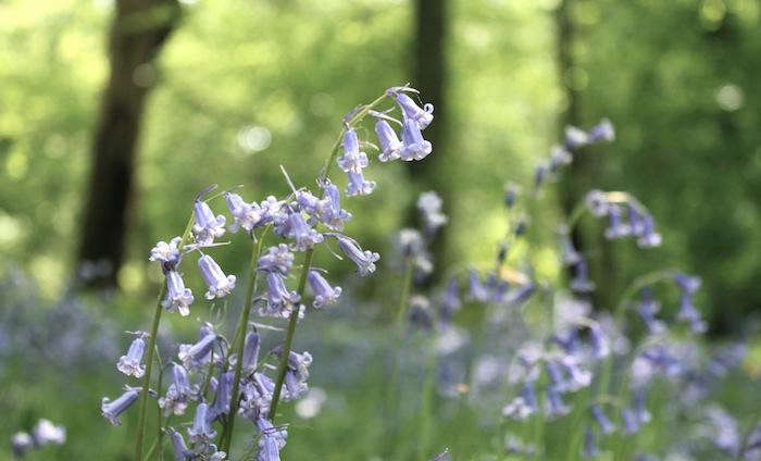 700_english-bluebells-forest