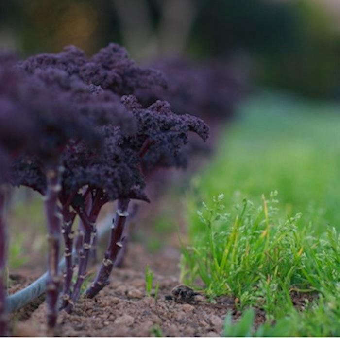 700_french-laundry-purple-kale-again