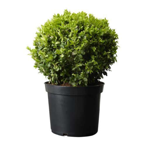 buxus-sempervirens-potted-plant–67418-pe181261-s4