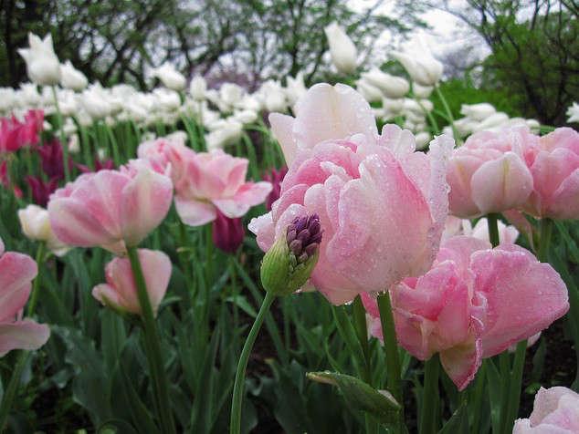 tulip-angelique-bbg