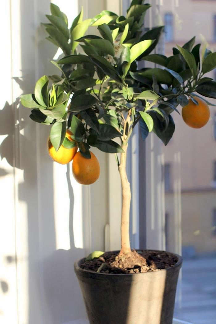 700_indoor-citrus-tree-2