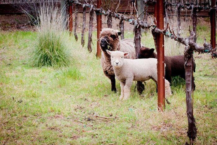 700_calistoga-ranch-sheep