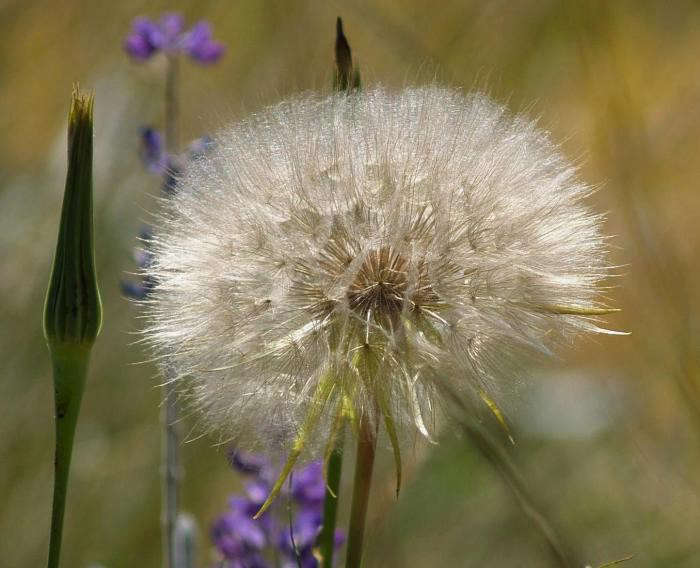 700_dandelion-closeup