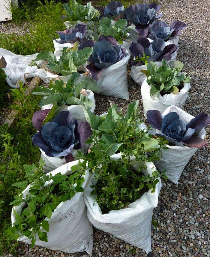 700_prinz-cabbages