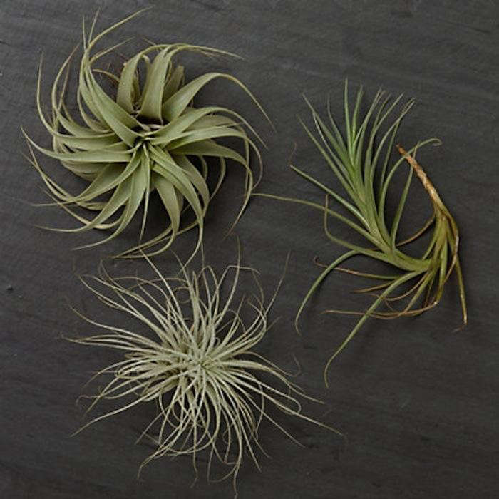 700_tillandsia-trio-jpeg