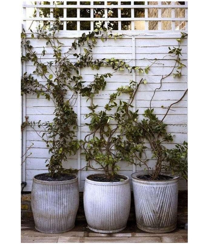 700_espalier-vines-against-fence-in-white-pots