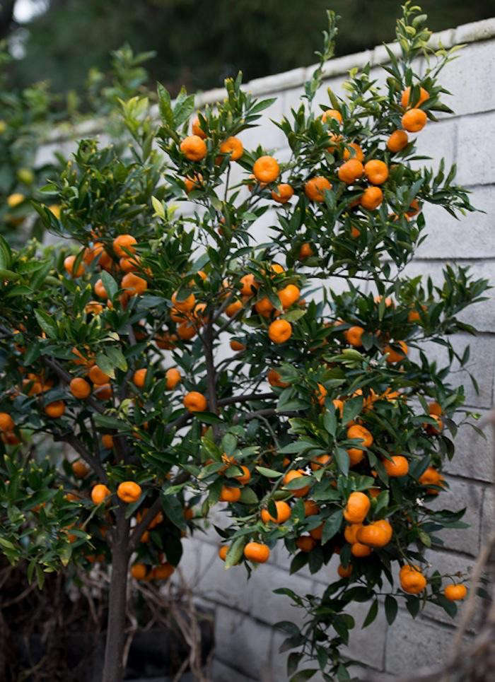 700_kishu-mandarin-orange-tree