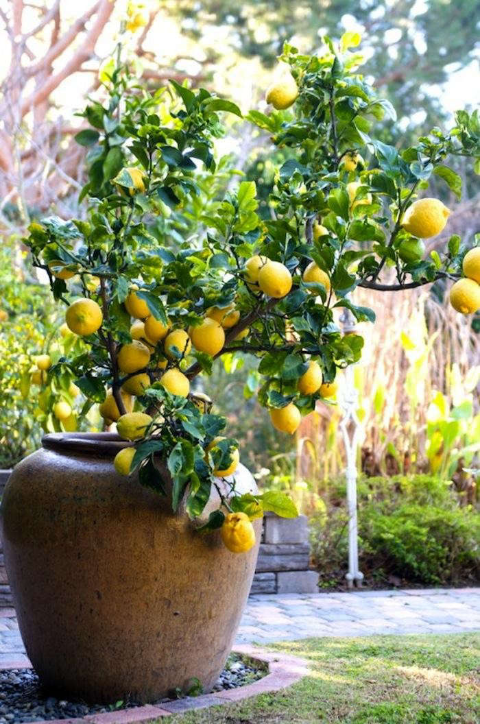 700_lemon-tree-container-11-550×830