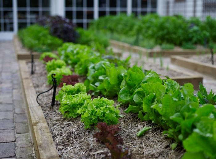 700_chiswick-garden-lettuces