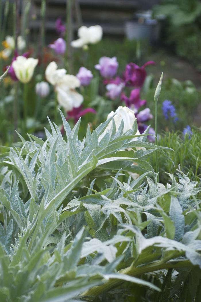 700_jane-garden-globe-artichoke