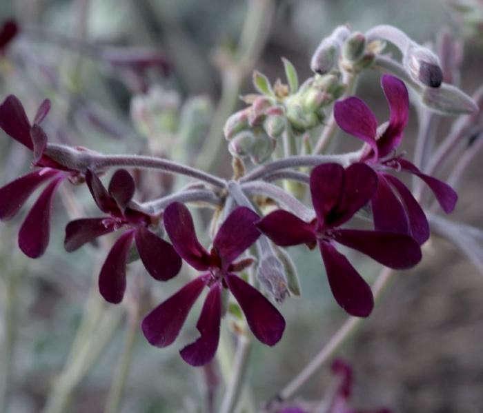 700_pelargonium-sidoides