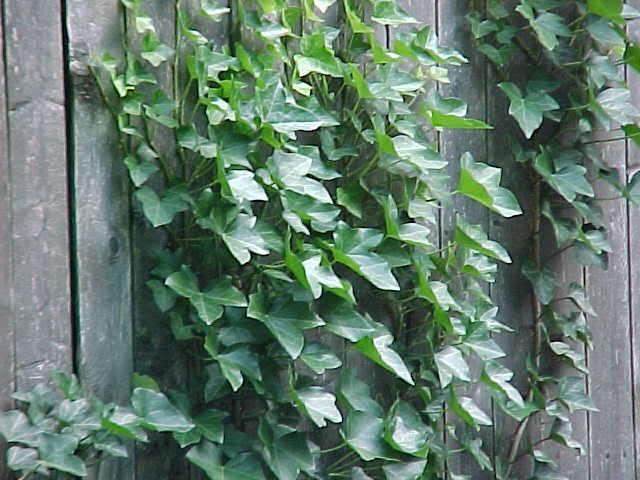english-ivy-fence